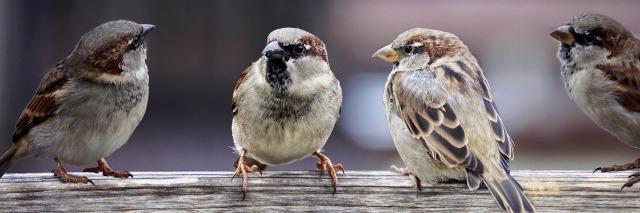 sparrows-2759978_1920